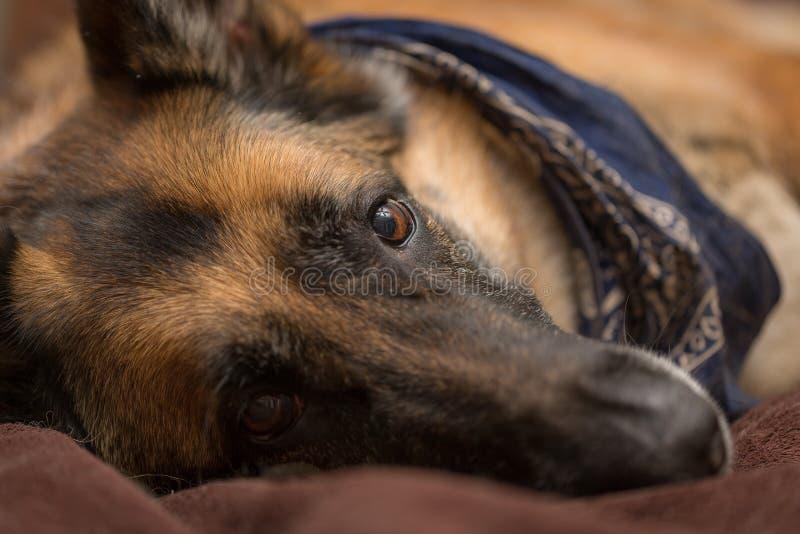 Собака немецкой овчарки смотря камеру стоковая фотография rf