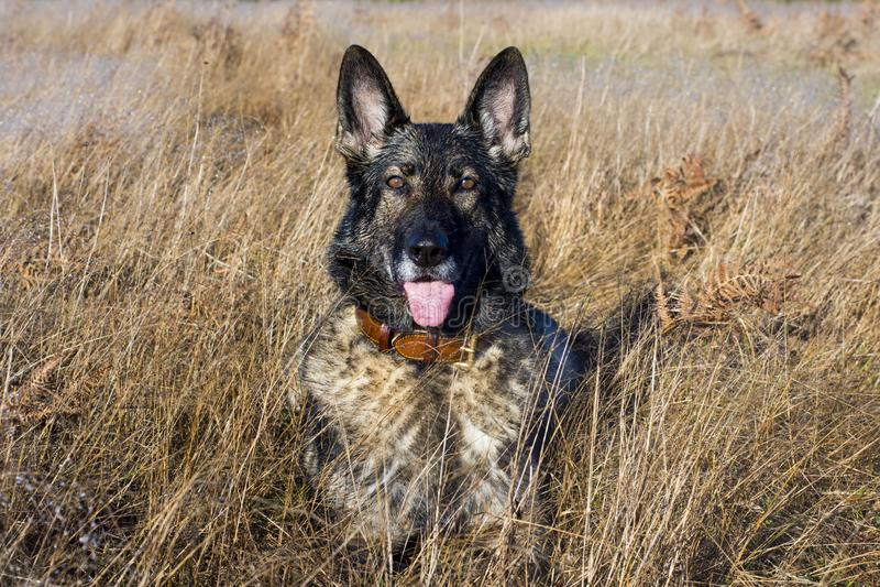 Собака немецкой овчарки соболя в поле стоковое фото rf