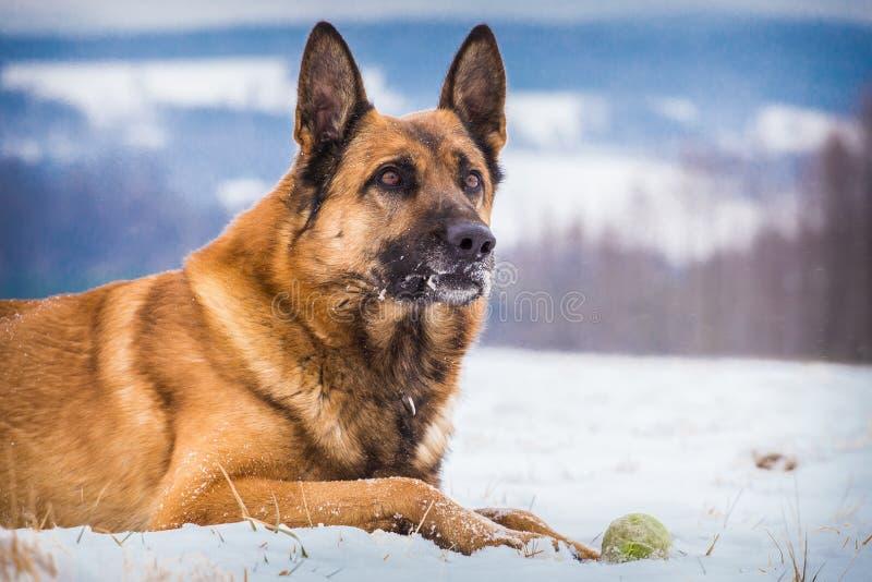 Собака немецкой овчарки с теннисным мячом стоковое изображение rf