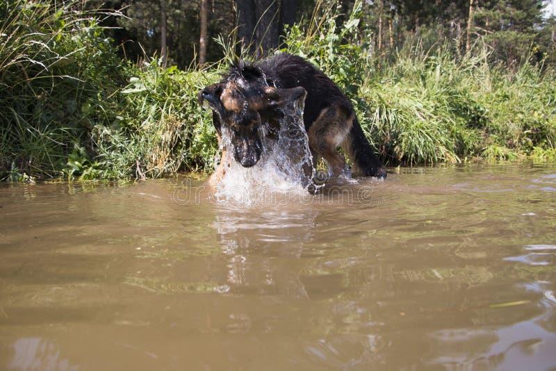 Собака немецкой овчарки улавливает рыб стоковое фото