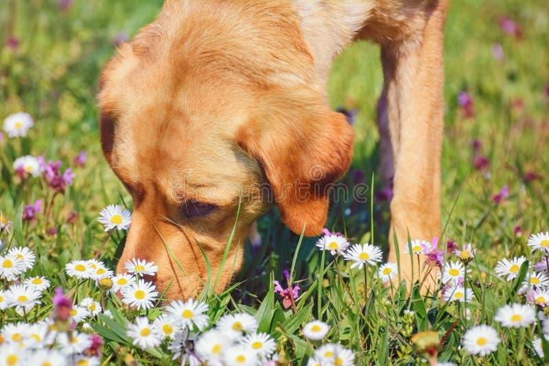 Собака обнюхивать стоковые изображения rf