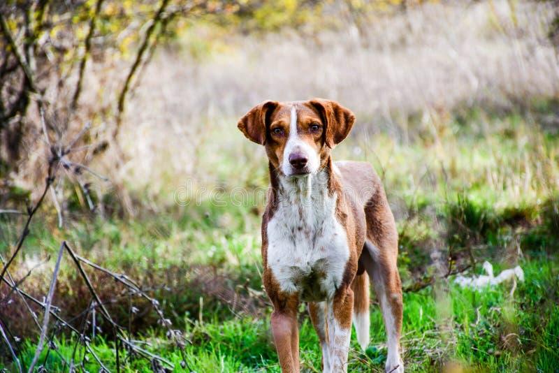 Собака овец стоковое фото