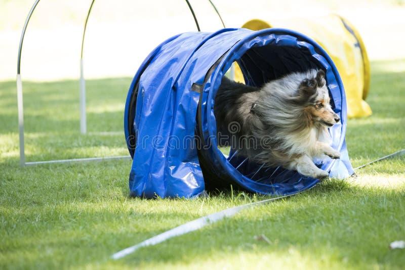 Собака, овчарка Shetland, бежать через тоннель подвижности стоковые фотографии rf