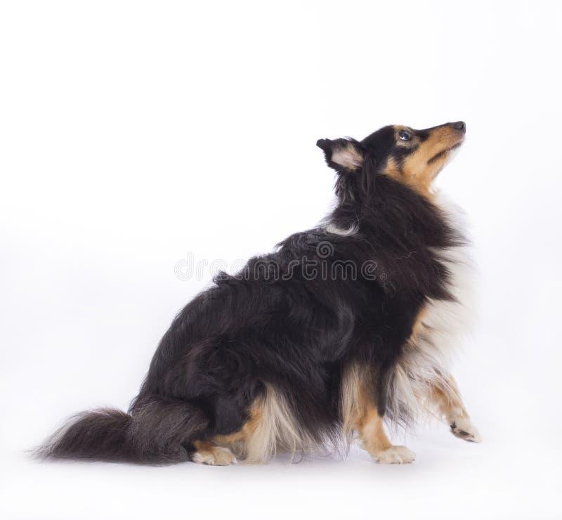 Собака, овчарка Shetland стоковые изображения
