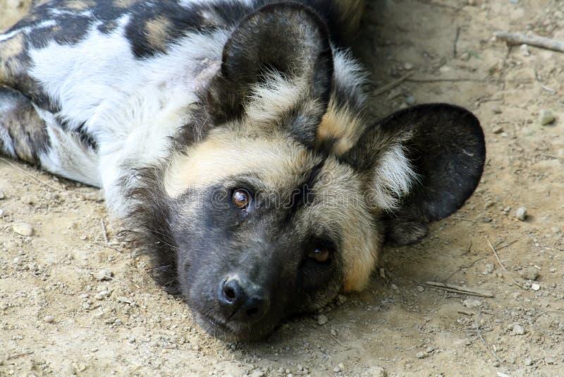 собака одичалая стоковое изображение rf