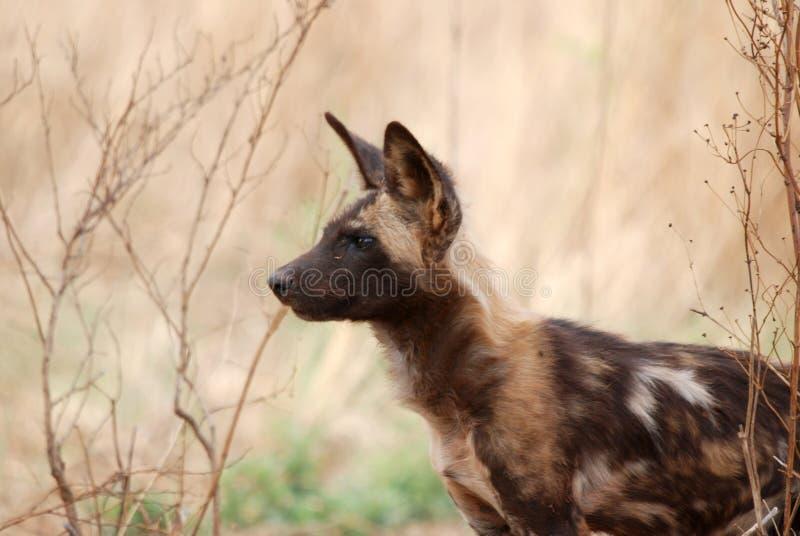 собака одичалая стоковое фото rf