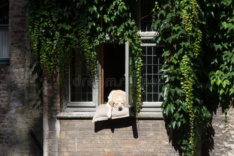 Собака ослабляя в Брюгге стоковые изображения rf