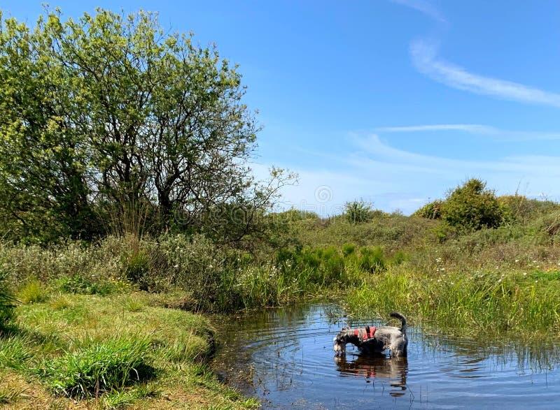 Собака охлаждая вниз и выпивая на горячий день в бассейне стоковое фото rf