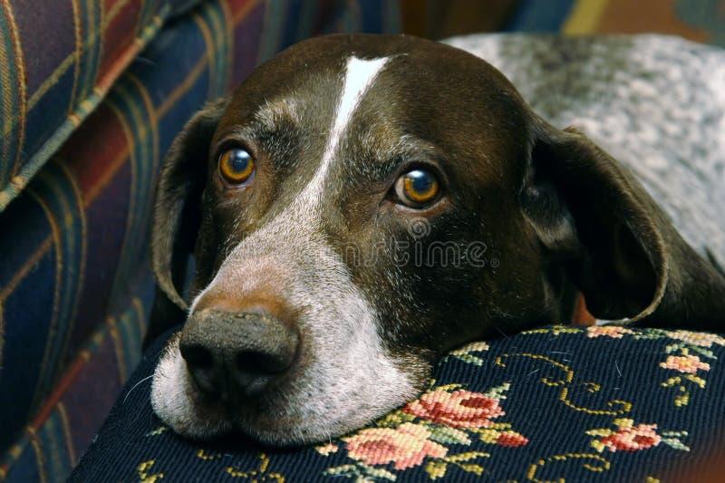собака охотясь ii стоковая фотография rf