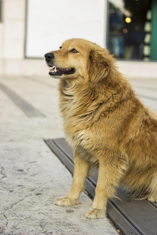 Собака парии стоковая фотография
