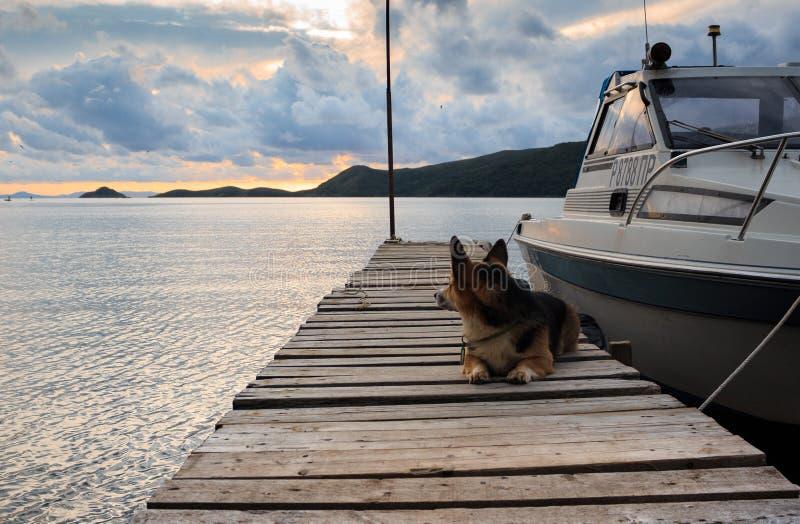 Собака Пембрука corgi валийца лежит на деревянной моле между a для того чтобы быть стоковое фото rf
