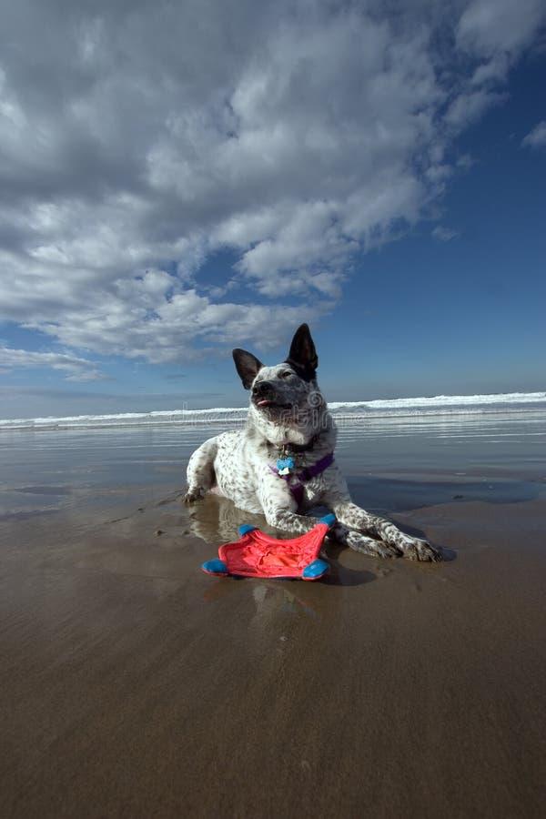 Download собака пляжа lounging стоковое фото. изображение насчитывающей волна - 80794
