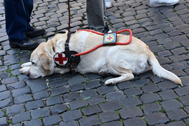 Собака-поводырь ждет терпеливо с его с ограниченными возможностями человеком стоковое фото