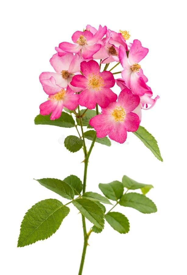 Розы собаки стоковые изображения rf