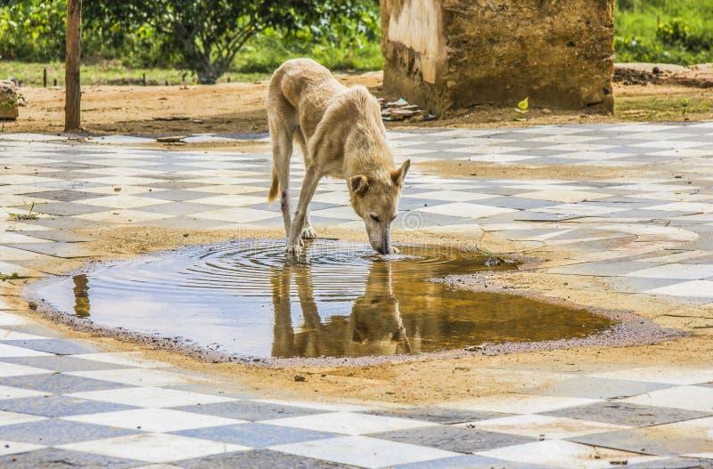 Собака популярно известная как остолопы стоковые изображения