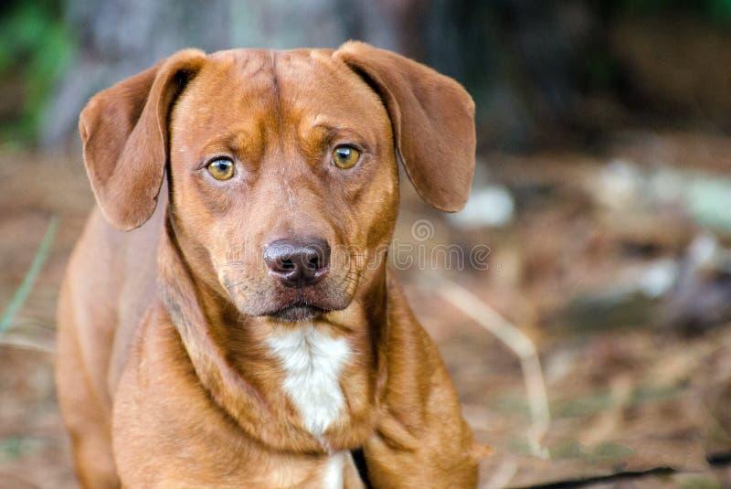 Собака породы бигля смешанная таксой стоковая фотография