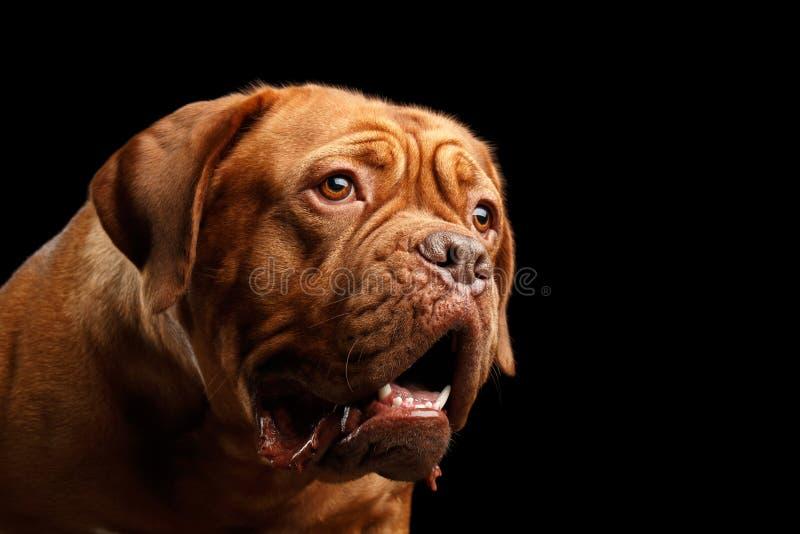 Собака портрета породы Dogue de Бордо изолированного на черной предпосылке стоковое фото