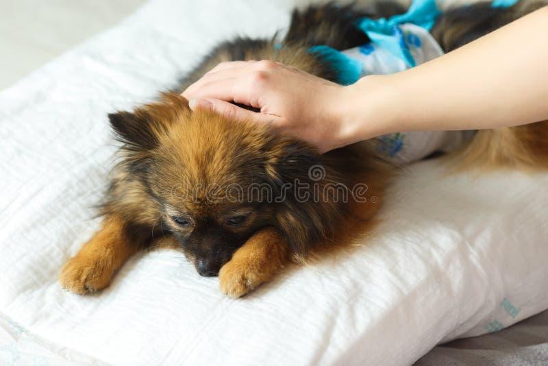 Собака после лож хирургии на мягкой подушке с рукой хозяйки на голове собака просыпает вверх после наркотизации стоковые изображения