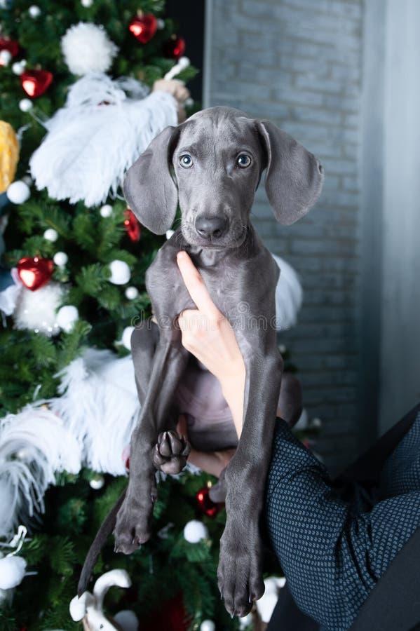 Собака похожа на новогоднее подарок Милый пес Веймаранер щенок перед рождественской елкой в подарок стоковые фото
