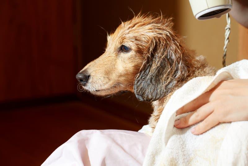 Собака получая его мех высушила с воздуходувкой на groomer стоковые фотографии rf