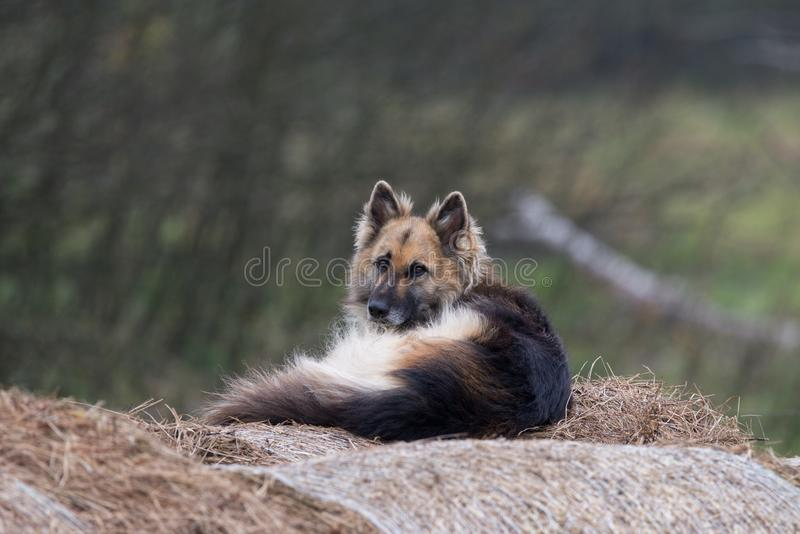Собака предохранителя лежа на стоге сена в дворе Собака овец на сене Собака в кормушке стоковая фотография rf