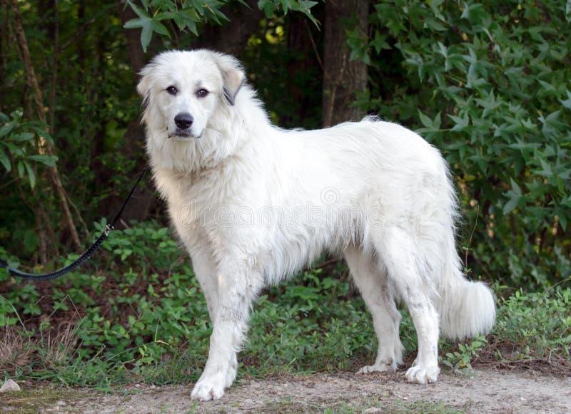 Собака предохранителя поголовья больших Пиренеи стоковые изображения rf