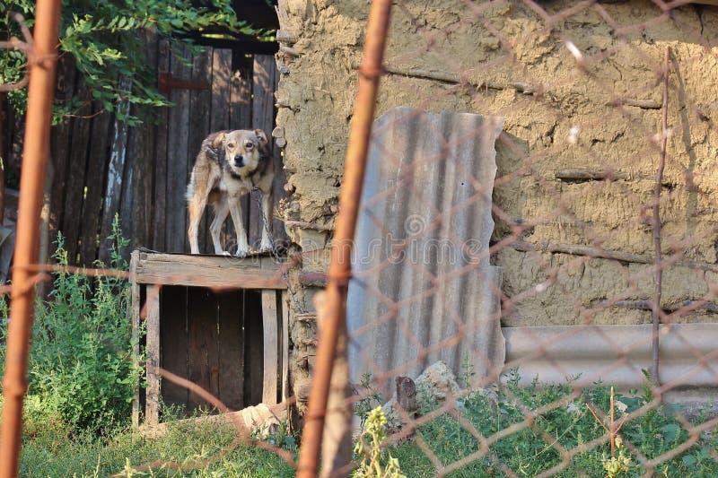 Собака прикованная рядом с старым амбаром стоковое изображение rf