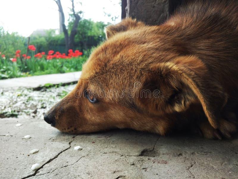 Собака, природа, цветки, красные стоковые изображения rf