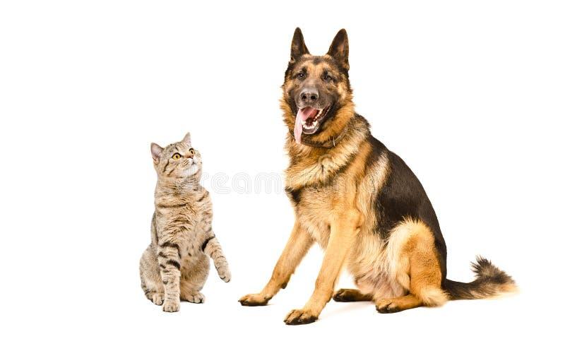 Собака прямых любопытного кота шотландская и немецкой овчарки стоковые фотографии rf