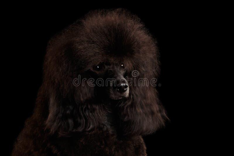 Собака пуделя Брайна на изолированной черной предпосылке стоковое фото