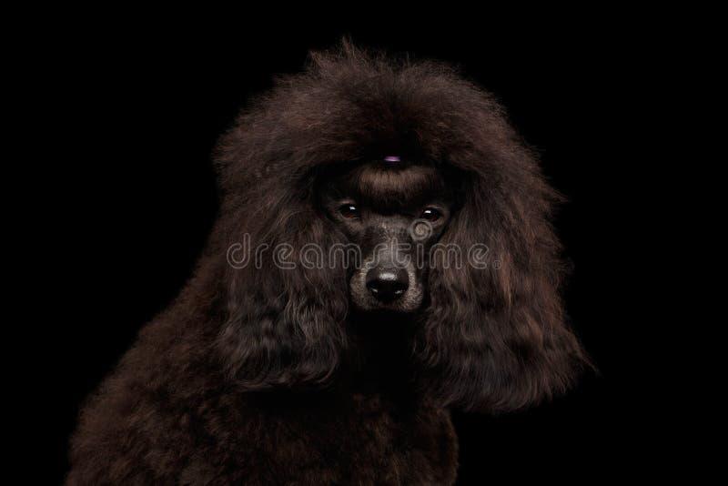 Собака пуделя Брайна на изолированной черной предпосылке стоковые фото