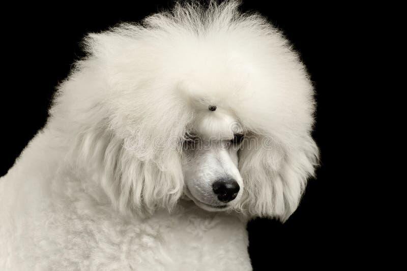 Собака пуделя крупного плана белая виновно понизила голову изолированную на черноте стоковое изображение rf