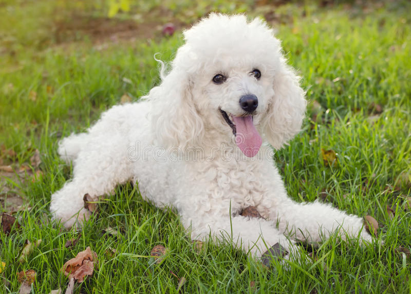 Собака пуделя стоковое изображение rf