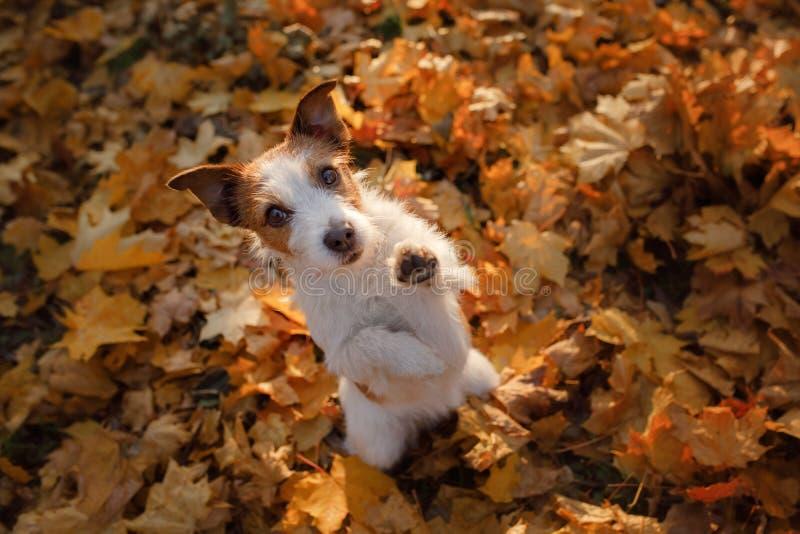 Собака развевала его лапка hey Осень любимца в листьях стоковые фотографии rf
