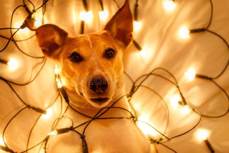 Собака рождества с fairy светами стоковая фотография