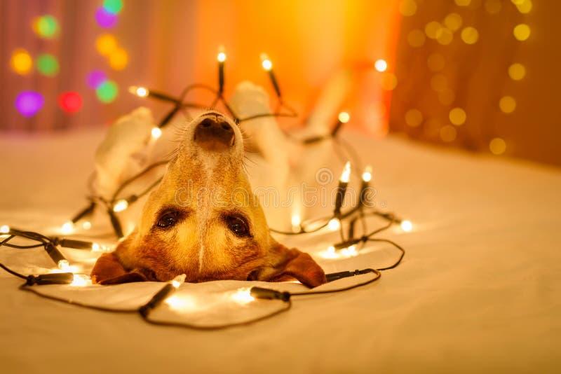 Собака рождества с fairy светами стоковые фото
