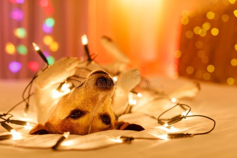 Собака рождества с fairy светами стоковая фотография rf