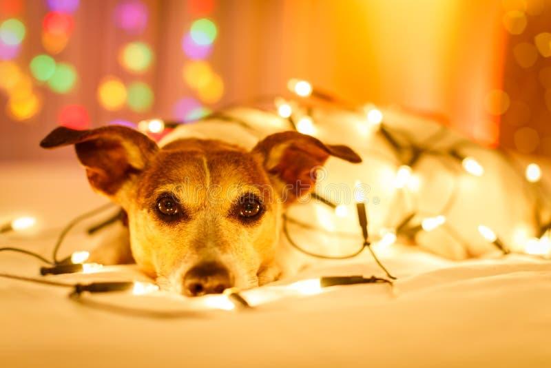 Собака рождества с fairy светами стоковое фото