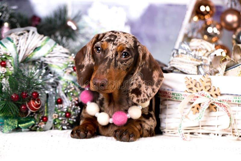 Собака рождества таксы собаки стоковое изображение