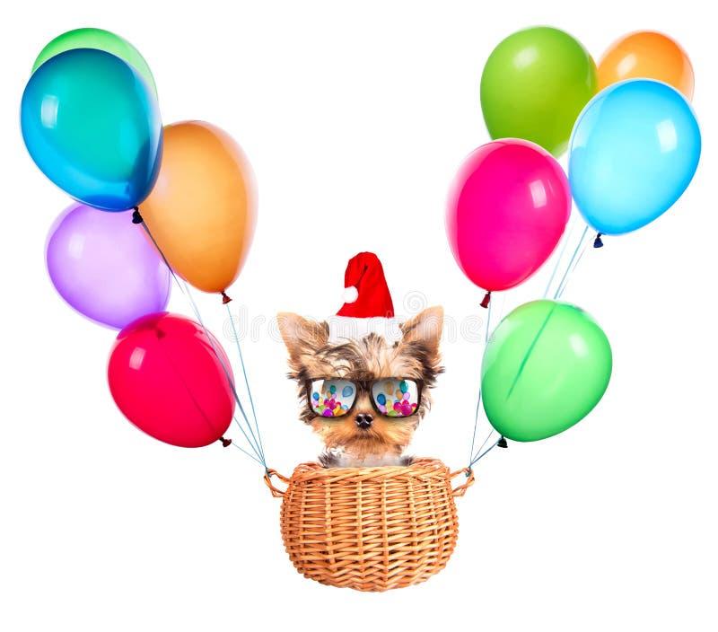 Собака рождества как santa с воздушными шарами стоковые фотографии rf