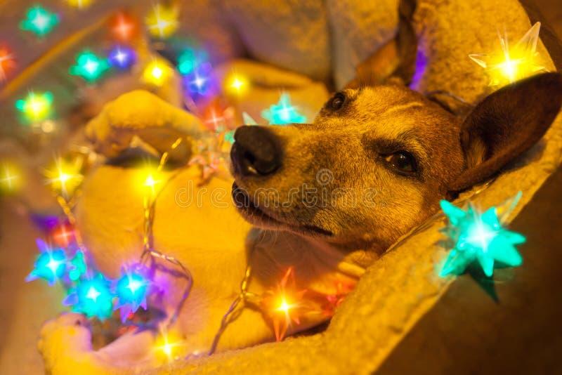 Собака рождества с fairy светами стоковое фото rf