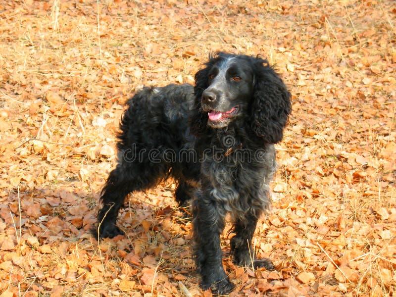 Собака Русский Spaniel стоковое изображение rf
