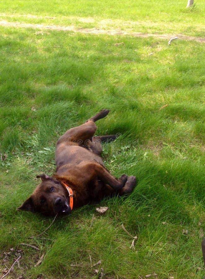 Собака свертывая вокруг в траве стоковые изображения rf