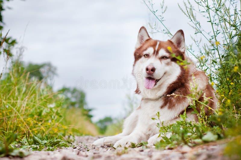 Собака сибирской лайки стоковое изображение