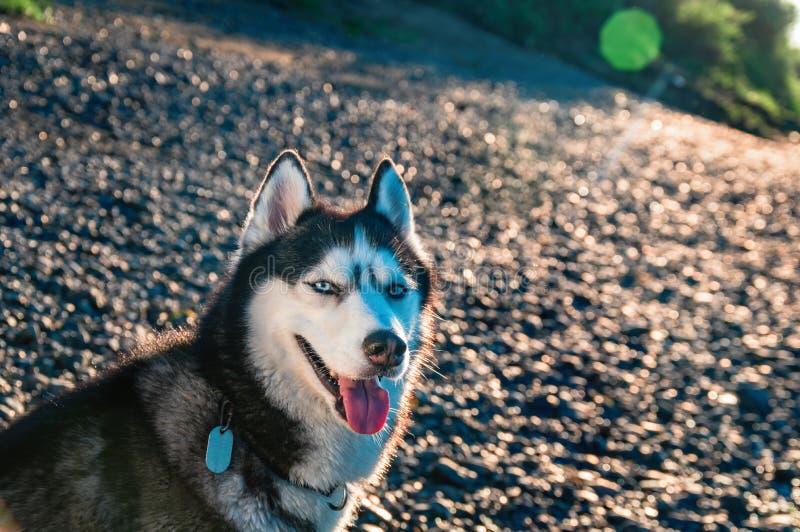Собака сибирской лайки портрета милая на скалистом береге Мягкий теплый свет вечера стоковое изображение