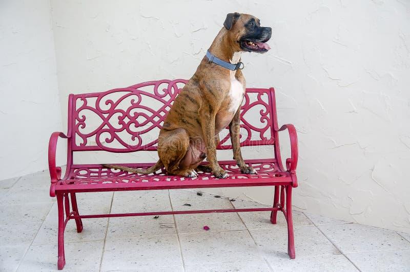собака сидит на красном стенде стоковое фото rf