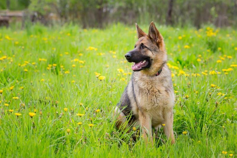 Собака сидя в траве Немецкая овчарка породы Время 1 год стоковые изображения rf