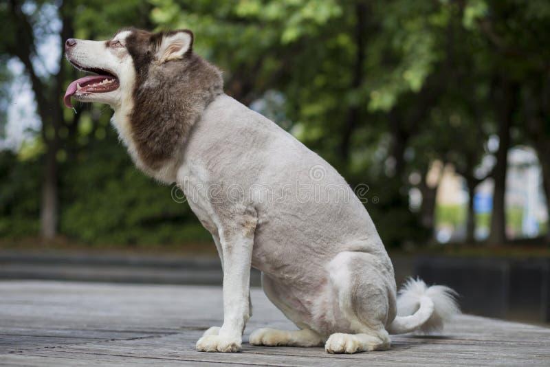 Собака скелетона Аляски стоковое фото