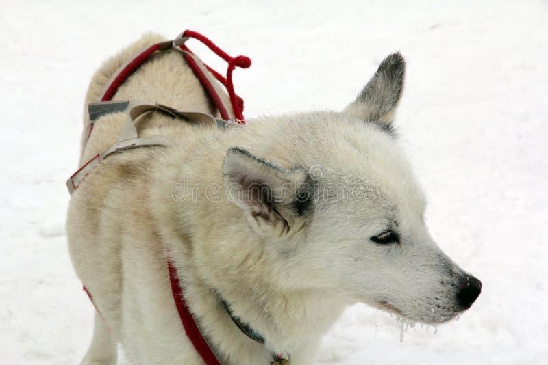 собака скелетона ждет их пользу в снеге вытянуть скелетон стоковое фото rf