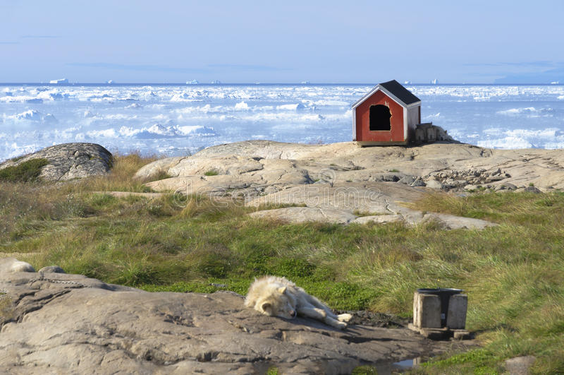 Собака скелетона отдыхая перед заливом Disko стоковые фотографии rf